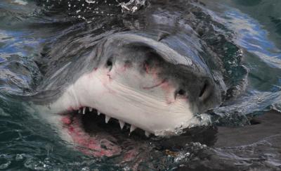 20160524225532-tiburon-blanco.jpg